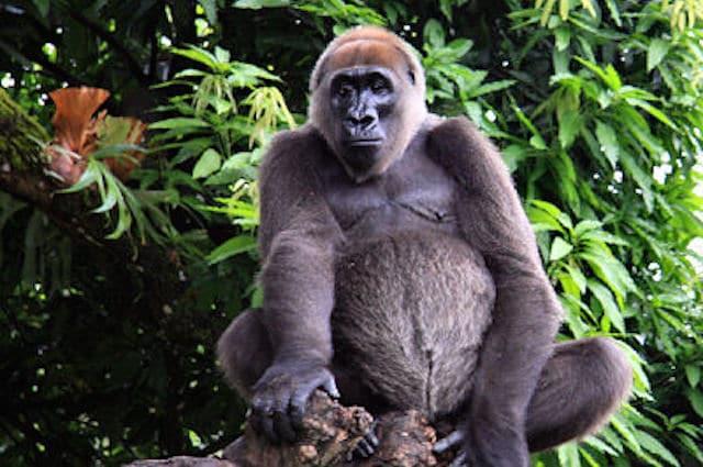 Gorilla del Cross River