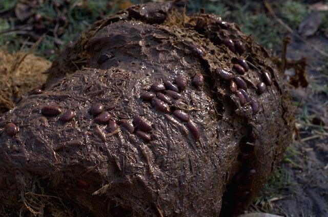 I semi vengono trasportati dalle feci degli elefanti e danno vita a nuove piante