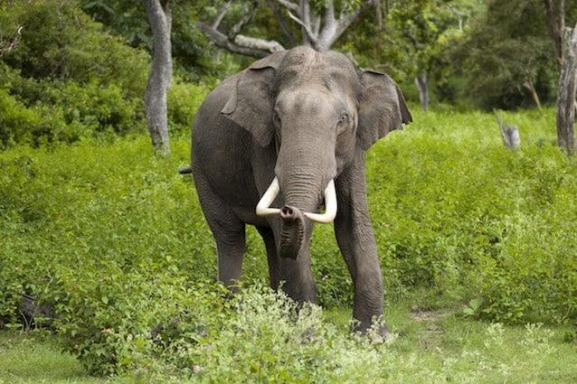 Gli elefanti sono animali disseminatori che trasportano cioè i semi