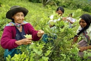 La pianta di coca non risente dei cambiamenti climatici