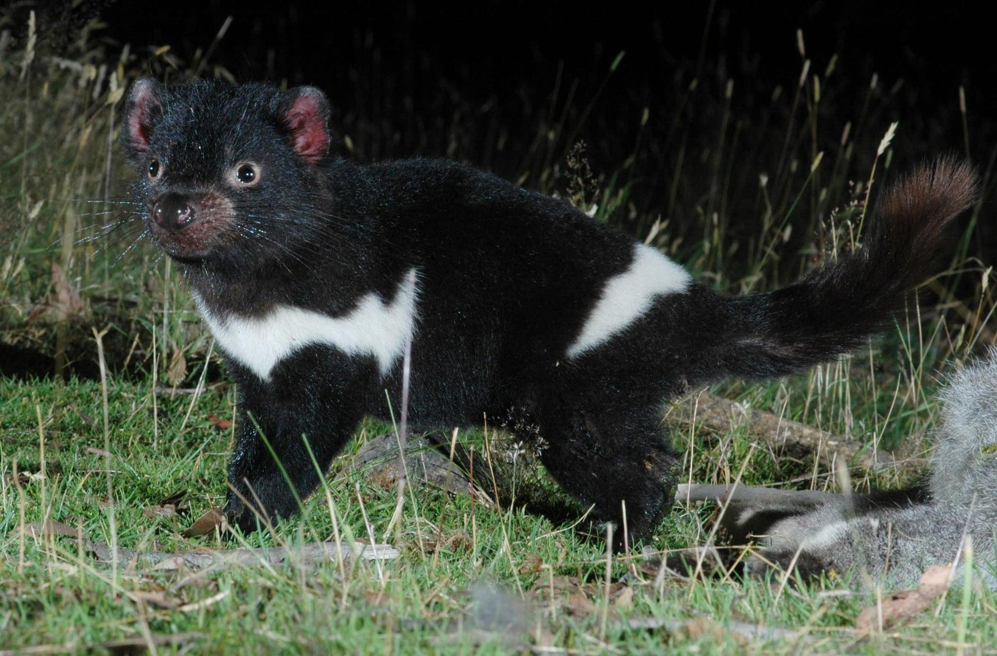 Diavolo Tasmania