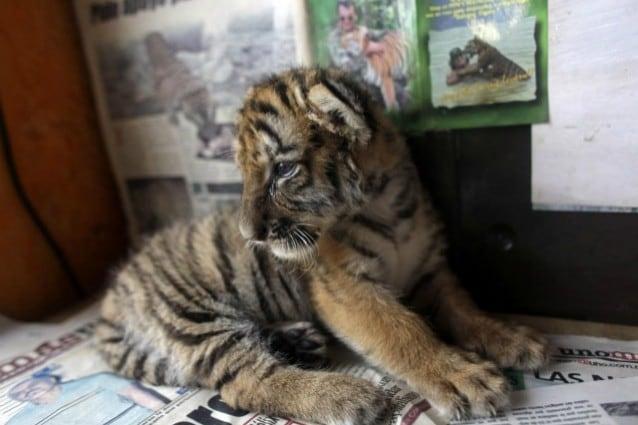 Tre tigri nello zoo di Budapest