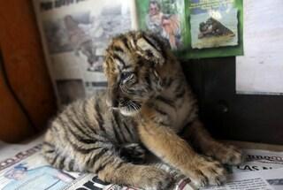 Virgil, Thrax e Manu, i cuccioli di tigre siberiana nati allo zoo di Budapest [VIDEO]