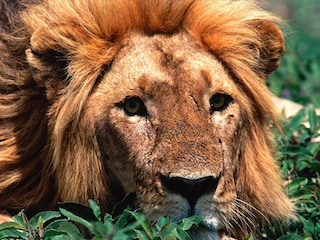 Si avvicina un'estinzione di massa per i grandi predatori. Dopo toccherà all'uomo?