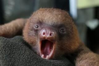 Il bradipo Tuto conquista il web con uno sbadiglio [VIDEO]