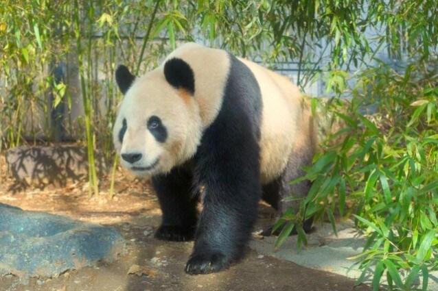 Panda partorisce gemelli