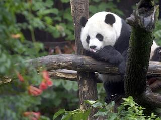 Il problema sessuale dei panda: estinzione di una delle specie rare più amate dalla gente