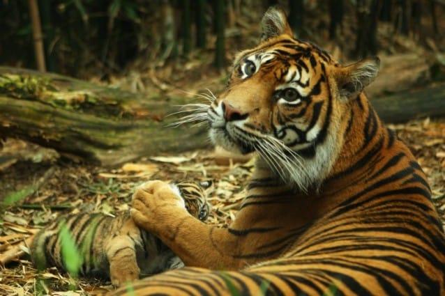 Presentati al pubblico dello zoo Taronga i tre cuccioli di tigre di Sumatra venuti alla luce lo scorso agosto: la loro nascita è un evento eccezionale, dato che questa specie rischia l'estinzione.