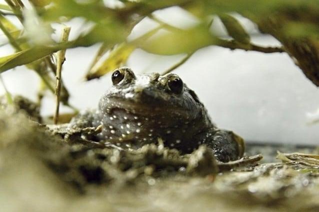 Classificata ormai tra i molti animali estinti dell'Asia, la rana dipinta di Hula è stata finalmente avvistata in Israele dopo cinquantasei anni.