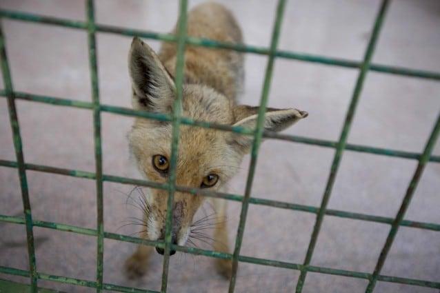 Prevista per sabato 10 e domenica 11 dicembre la mobilitazione nazionale della Lega Anti Vivisezione. In centinaia di piazze italiane sarà possibile firmare la petizione per una proposta legislativa che metta fine alla pratica di uccidere animali per farne pellicce.
