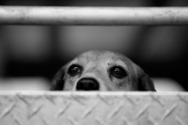Proseguono le proteste degli attivisti a Montichiari, Brescia, contro Green Hill, il canile lager dove vengono alla luce e sono allevati esemplari di razza beagle destinati ai laboratori di vivisezione.