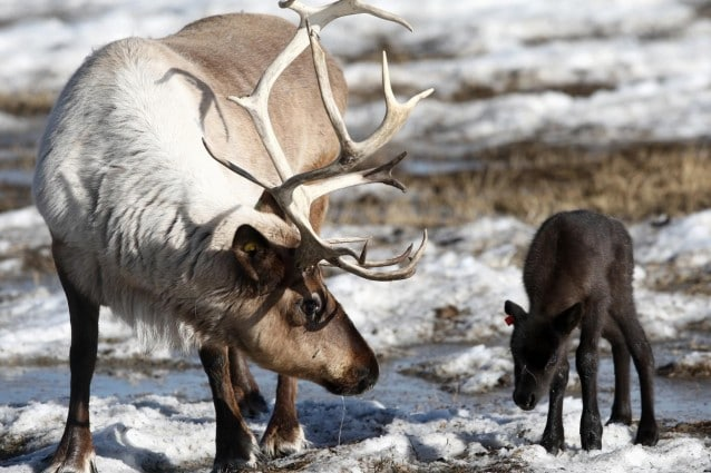 Miniere di ferro, strade, dighe, stravolgimenti del territorio che stanno minacciando la sopravvivenza dell'animale simbolo del Natale, la renna. Lungo il fiume George, in Canada, quello che era il branco più grande del mondo si è ridotto di oltre il 90 negli ultimi decenni.