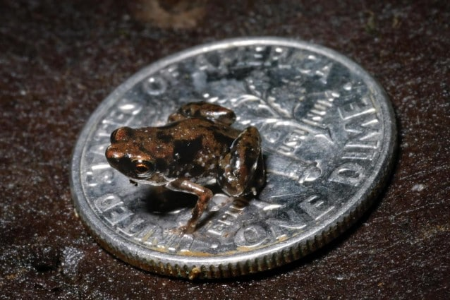 Tra le numerose scoperte negli ultimi mesi nell'area del Sud Est asiatico c è anche la rana più piccola del mondo, misura appena 7.7 millimetri e può tranquillamente adagiarsi al centro di una moneta.