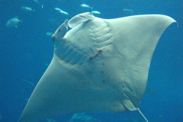 La medicina tradizionale cinese attribuisce proprietà curative alle branchie di questo splendido animale. Per questa ragione, nei mari, la manta sta diventando sempre più rara, secondo la denuncia di sharksavers.
