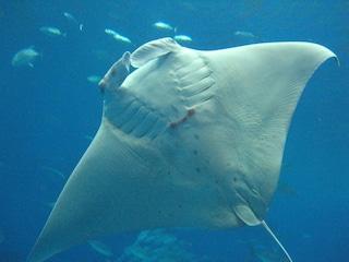 La manta, una meraviglia dei mari ricercata per le sue branchie