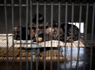 Cina, le torture inflitte agli orsi nelle fattorie della bile