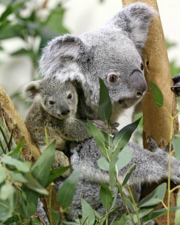 Il koala si sta trovando ad affrontare sfide sempre più difficili, negli ultimi anni, la perdita dell habitat, i cambiamenti climatici e, infine, la diffusione di un batterio mortale tra gli esemplari della regione australiana del Queensland, stanno mettendo a dura prova quello che è, probabilmente, uno degli animali più amati.