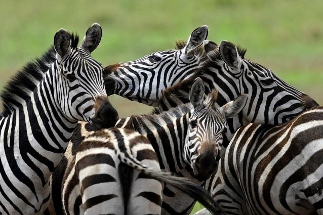 Alcuni zoologi ritengono che le caratteristiche strisce della zebra svolgano un importante influenza sulle interazioni sociali, altri hanno sempre sostenuto che servissero all'animale per mimetizzarsi: ma secondo una recente ricerca, quel motivo bianco e nero avrebbe ancora un altra funzione.