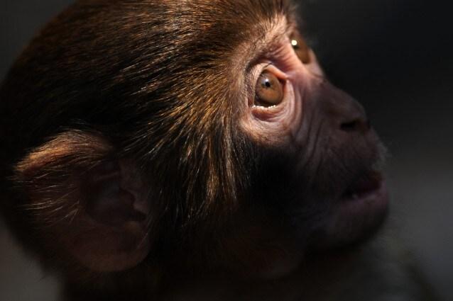 Alcuni arrivano dalla Cina, altri sono stati prelevati direttamente in natura, alle Seychelles o alle Mauritius Sono i 900 primati in viaggio verso l Italia, rinchiusi in piccole gabbie, destinati ai laboratori Harlan di Correzzana, in nome di una ricerca che, crudelmente ed inutilmente, si serve degli animali.