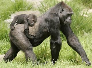 Gorilla, cugini non troppo lontani