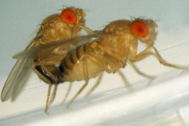 Quando il maschio del moscerino della frutta, Drosophila melanogaster, viene rifiutato dalla femmina compensa la propria insoddisfazione sessuale assumendo quantità elevate di alcol fino all intossicazione.