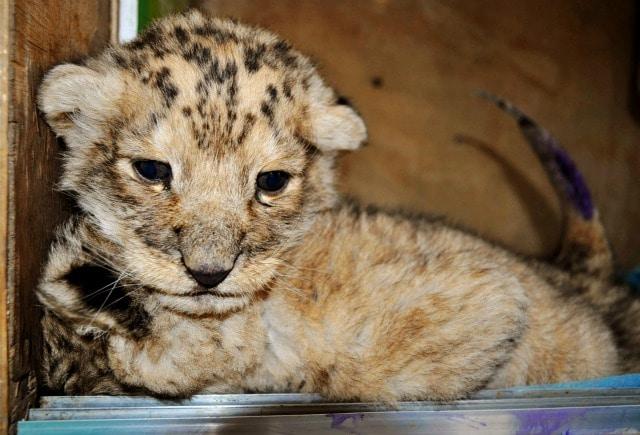 Nati i cuccioli da papà tigre e mamma leonessa (VIDEO)