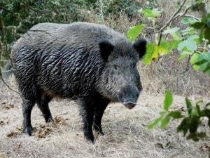 """Strana giornata quella vissuta in un cimitero di Castellammare di Stabia dove, intorno alle 8 di questa mattina, a un contadino è scappato un cinghiale. E da qui è nata la singolare """"battuta di caccia"""" tra le lapidi."""