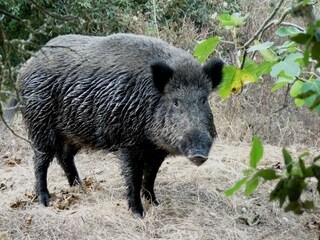 Bologna, aggredito da un cinghiale nel giardino di casa: vicino interviene e uccide l'animale