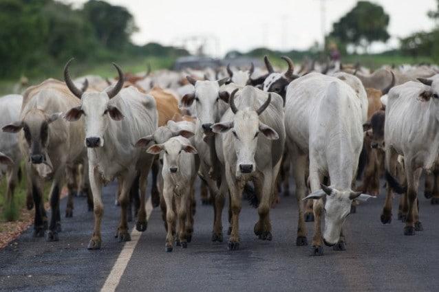 Che cosa significa la parola vaccino e perché c'entrano le mucche