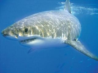 Turista divorato da uno squalo nell'Oceano Indiano: la sua mano trovata nella pancia del pesce