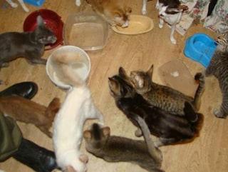 Bologna, decine di gatti chiusi in appartamento: malnutriti, ciechi e sporchi