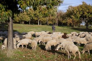 Scuola del paesino rischia tagli per mancanza di alunni, abitanti iscrivono 15 pecore