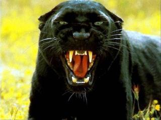 Pantera nera avvistata ieri. La forestale scatta una foto