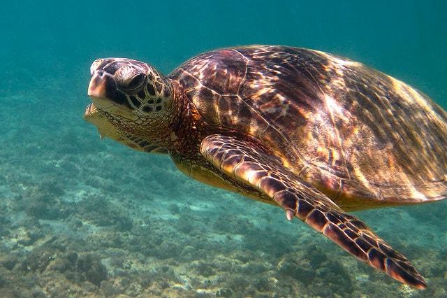 barriera corallina tartaruga verde