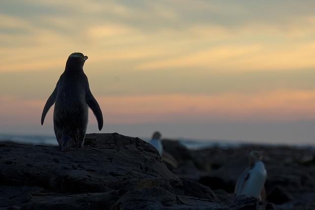 Pinguini in Nuova Zelanda