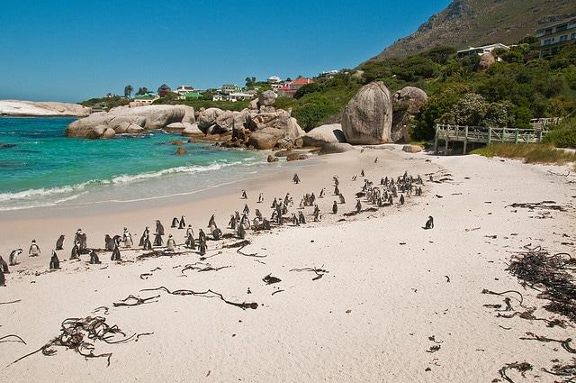 Pinguini in Sud Africa