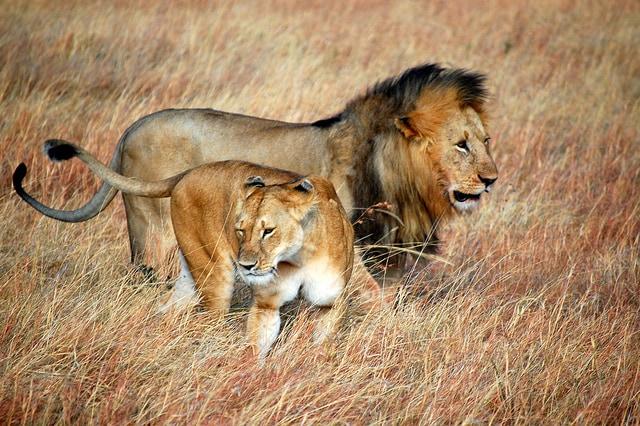 Leoni nel Masai Mara