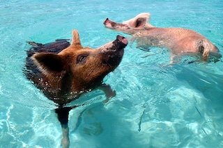Pig Beach, l'isola della Bahamas colonizzata dai maiali