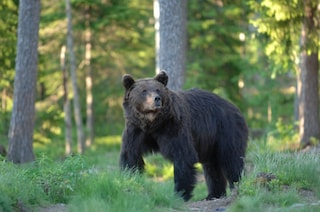 L'orsa DJ3, catturata più di 10 anni fa e prigioniera a Trento, verrà trasferita nella Foresta Nera