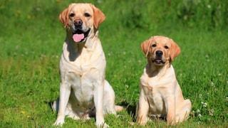 Nel Regno Unito parte la sperimentazione sui cani: potrebbero fiutare i sintomi del Covid-19