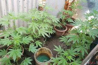 Cannabis, l'Oms chiede all'Onu di togliere la sostanza dalla lista di quelle pericolose