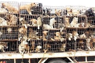 Ong affitta un aereo per salvare 99 cani dal festival di Yulin