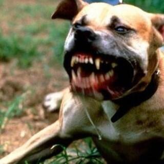 Vercelli, il pitbull di famiglia aggredisce due sorelline. Grave bimba di un anno e mezzo