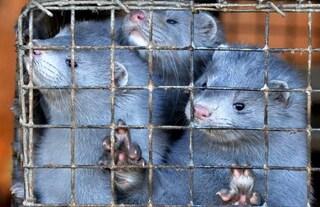 """Chiuso l'allevamento di visoni a Fossoli, esultano gli animalisti: """"Ora basta con le pellicce"""""""