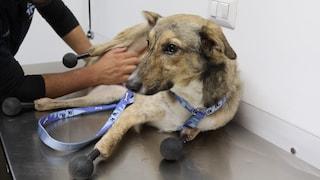 I topi gli divorano le zampe, Piedino è il primo cane al mondo con le protesi a tutti gli arti