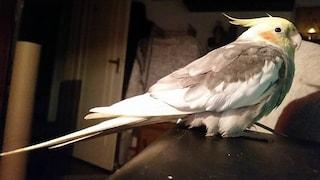 Firenze, pappagallo si perde in strada: ritrovato perché canta Bandiera Rossa