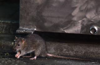 Cosenza, topi in una scuola: i bimbi si ammalano di dermatite