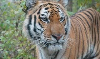 Svizzera, tigre attacca e uccide una guardiana dello zoo di Zurigo