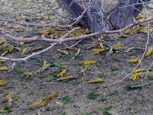 Invasione della cavallette in Iran (Twitter).