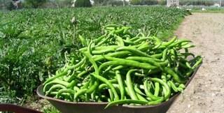 Sesto Fiorentino, bimbo allergico: il sindaco vieta di coltivare le fave
